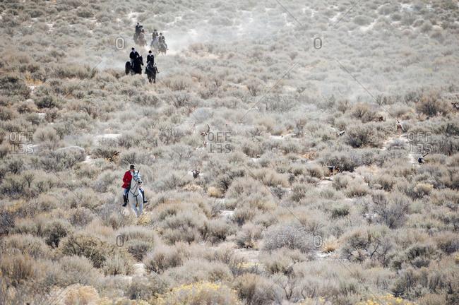 Traditional fox hunt in progress in the Nevada desert