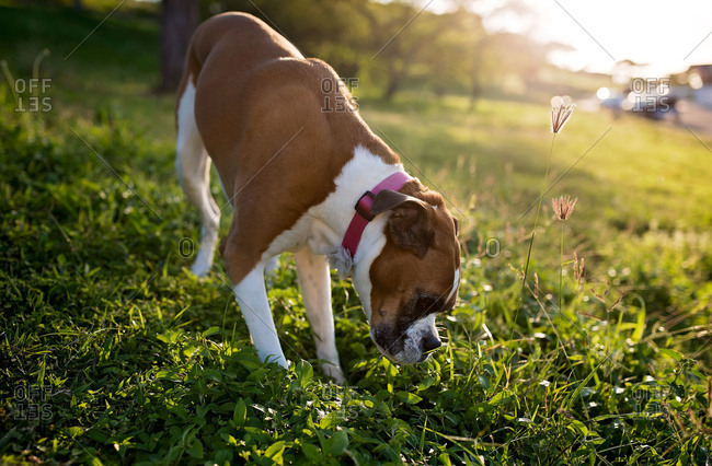 Boxer dog sniffing grass outdoors in the late afternoon