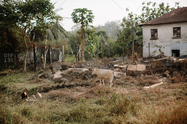 Cow walking among the remains of a building in a Sierra Leone village