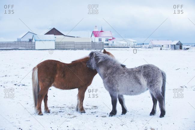 Horses nuzzling in snowy rural field