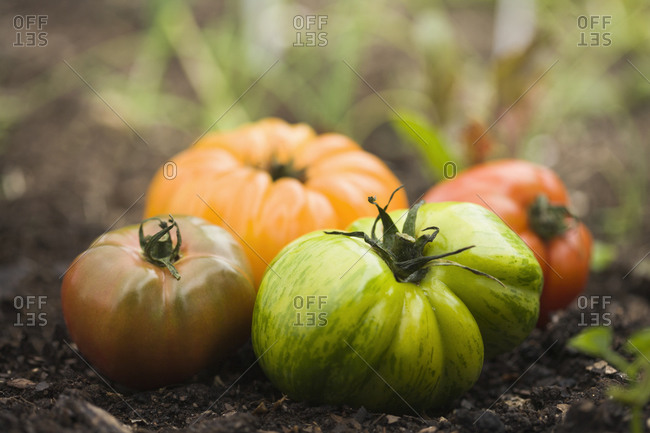 Colorful heirloom tomatoes in soil outdoors