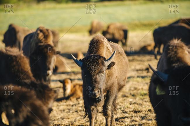 Buffalo herd standing in field