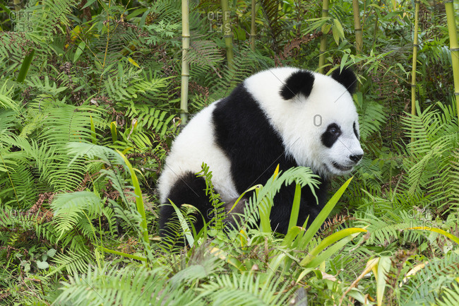 Young giant panda among bamboo