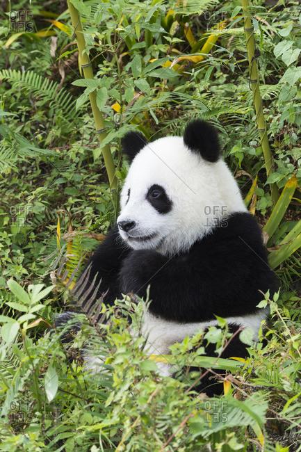 Young giant panda sitting among bamboo