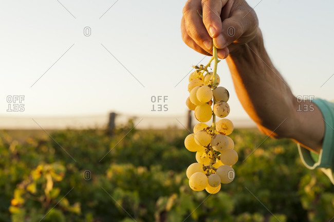Person holding a cluster of grapes in a vineyard