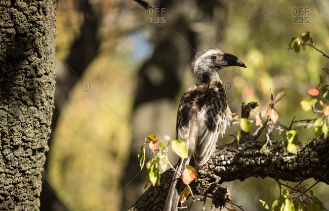 African grey hornbill in South Africa