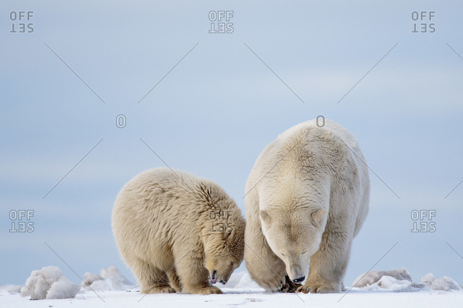 Polar bears, Barter Island, Arctic National Wildlife Refuge, Alaska USA