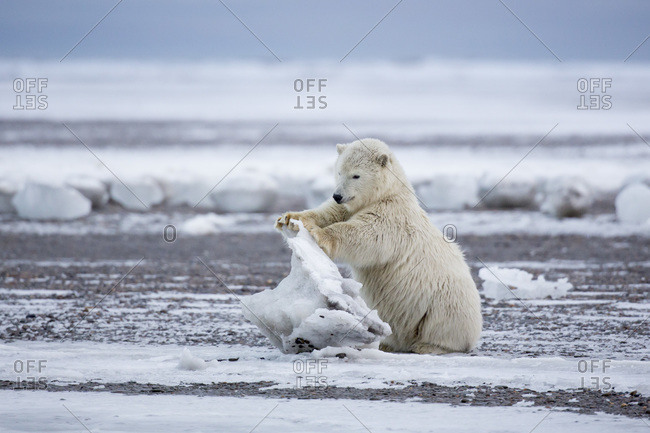 Polar bear cub playing with chunk of ice, Barter Island, Arctic National Wildlife Refuge, Alaska USA