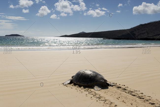 Galapagos green turtle (Chelonia agassizii) returns to the ocean, Floreana Island, Galapagos Archipelago, Ecuador