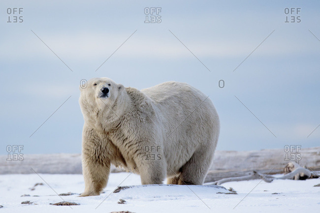 Polar bear, Barter Island, Arctic National Wildlife Refuge, Alaska USA