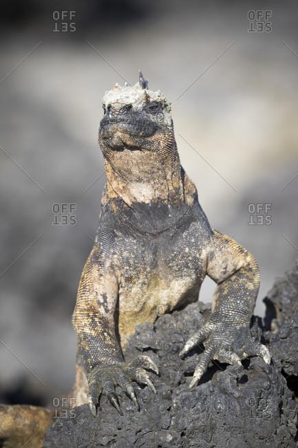 Marine iguana (Amblyrhynchus cristatus) Tintoreras Islets on Isabela Island, Galapagos Archipelago, Ecuador