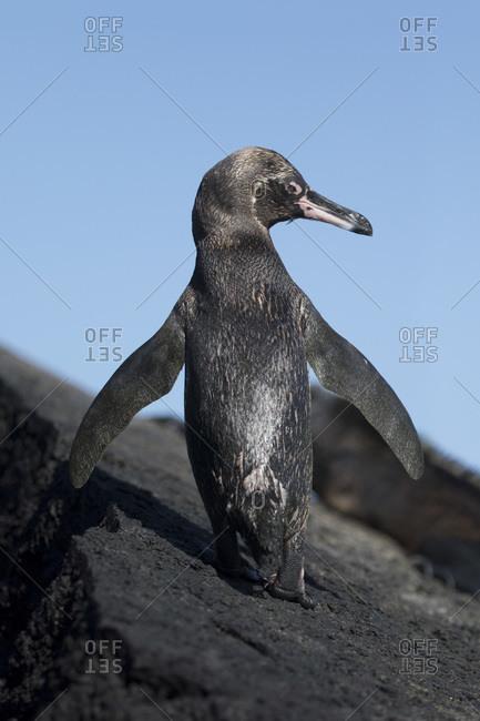 Rear view of a Galapagos penguin (Spheniscus mendiculus), Punta Moreno, Isabela Island, Galapagos Archipelago, Ecuador