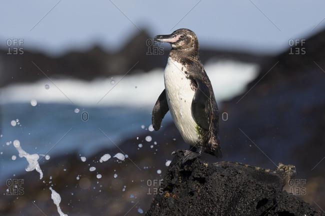 Galapagos penguin (Spheniscus mendiculus), Punta Moreno, Isabela Island, Galapagos Archipelago, Ecuador
