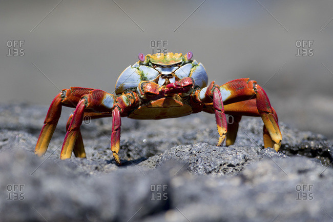 Sally Lightfoot Crab (Grapsus grapsus), Puerto Egas, Santiago Island, Galapagos Archipelago, Ecuador