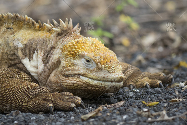 Galapagos land iguana (Conolophus subcristatus), Urbina Bay, Isabela Island, Galapagos Archipelago, Ecuador