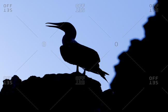 Silhouette of a blue-Footed booby (Sula nebouxii), Punta Vicente Roca, Isabela Island, Galapagos Archipelago, Ecuador
