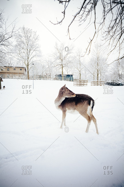 A young deer in the snow at Hasenheide Park in Berlin, Germany