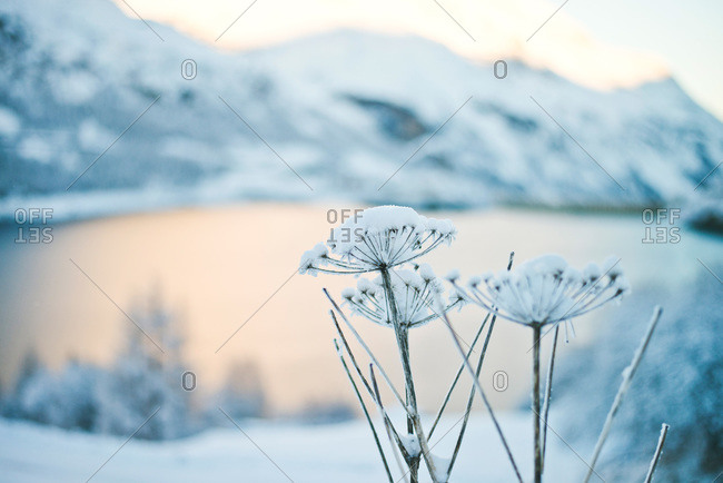 Close up of dried flowers covered in snow