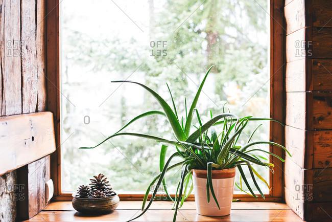Sprawling aloe plant on windowsill in house