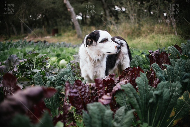 Dog standing among spinach in garden