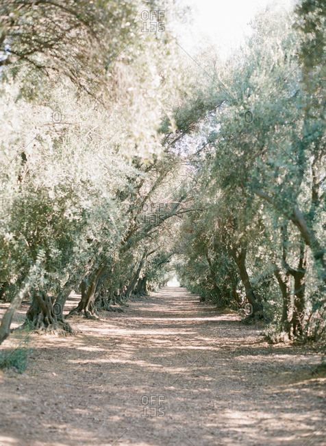 Path between olive trees growing in a grove