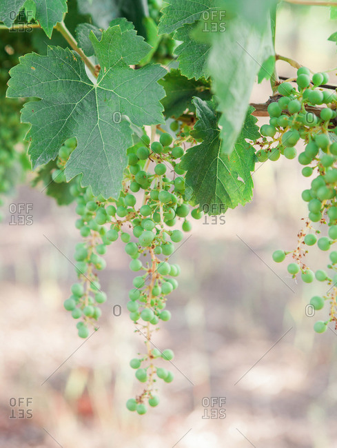 Young green grapes growing on a vine