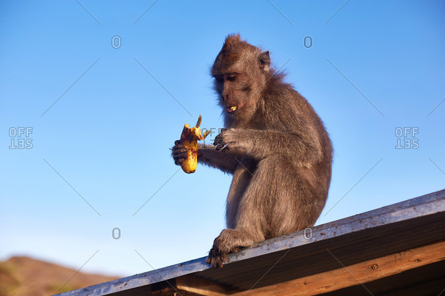 Macaque sitting on a rooftop eating a banana
