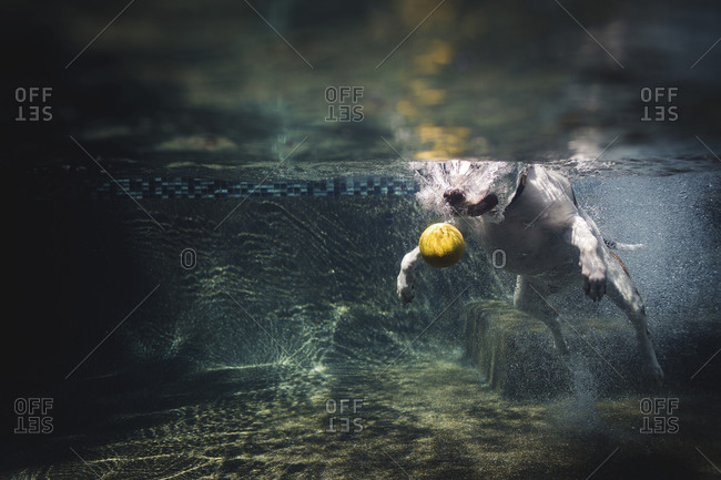 Underwater view of dog chasing ball in pool