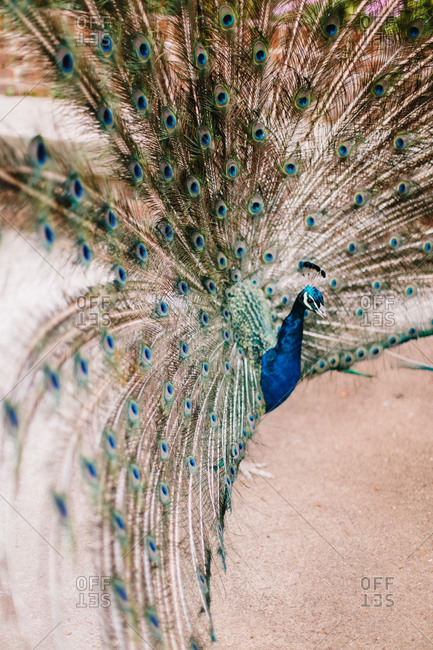 Male peacock spreading his tail feathers