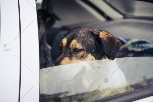 Dogs sitting in back seat of a car