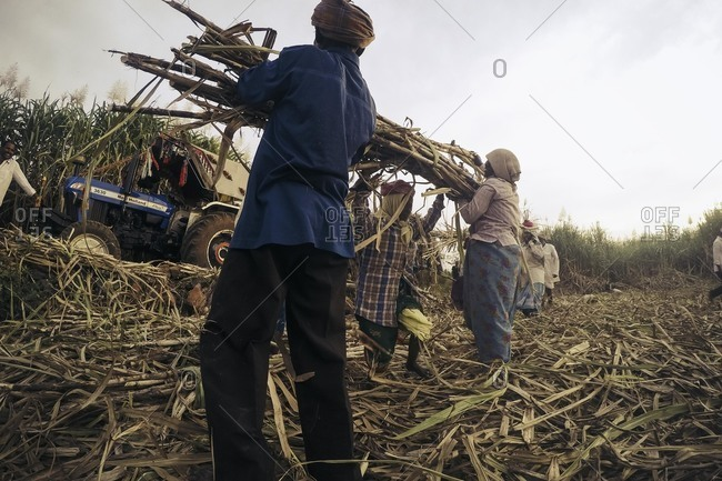 Bagalkot, Karnataka, India - November 28, 2014: Sugar cane harvesting in India