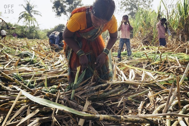 Bagalkot, Karnataka, India - November 27, 2014: Woman tying bundles of sugarcane
