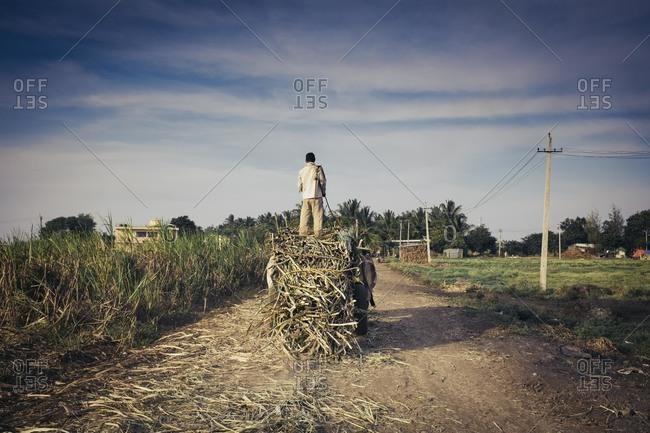 Sugarcane workers carrying bundles, India