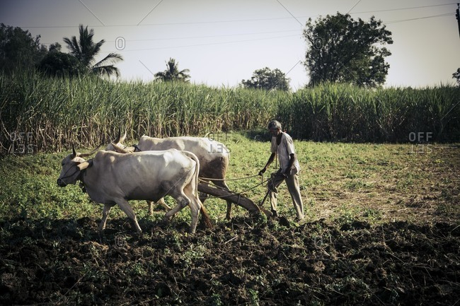 Bagalkot, Karnataka, India - November 25, 2014: Farmer tilling the land in India