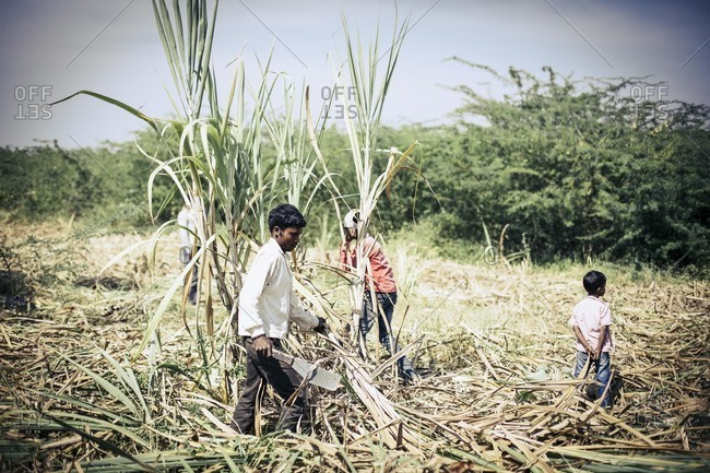 Bagalkot, Karnataka, India - November 28, 2014: Migrant workers harvesting sugarcane, India