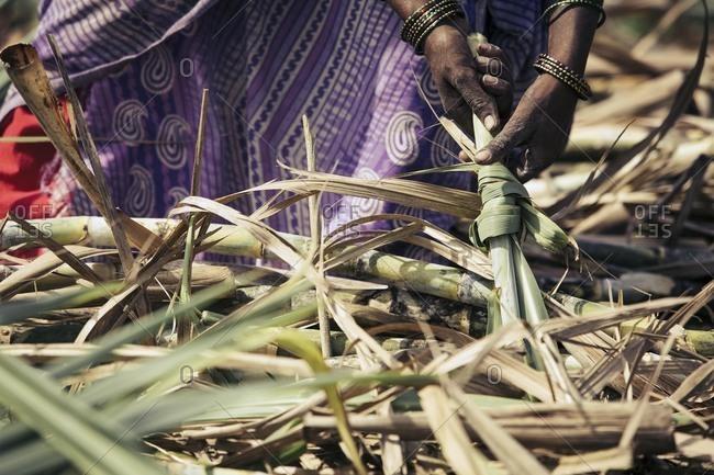 Tying bundles of sugarcane, India