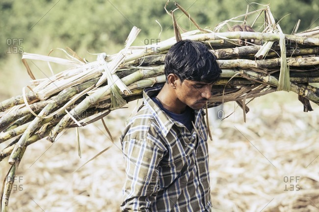 Bagalkot, Karnataka, India - November 28, 2014: Workers harvesting sugarcane in India