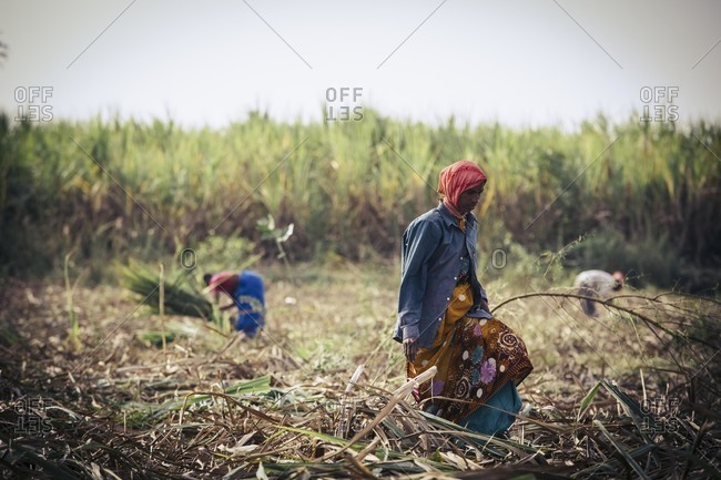 Bagalkot, Karnataka, India - November 28, 2014: People harvesting sugarcane in India