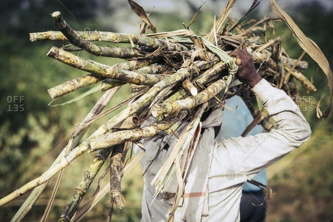 Field worker harvesting sugarcane