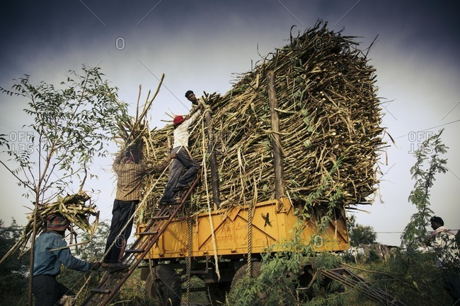 Bagalkot, Karnataka, India - November 28, 2014: Migrant workers putting sugar cane on a cart