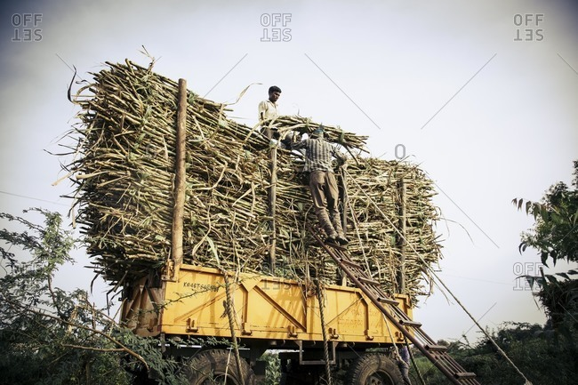 Bagalkot, Karnataka, India - November 28, 2014: Migrant workers putting sugar cane on cart