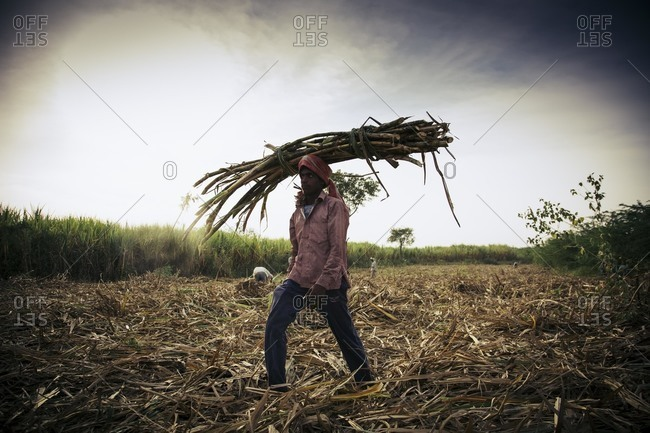 Bagalkot, Karnataka, India - November 28, 2014: Field workers harvesting sugarcane crop
