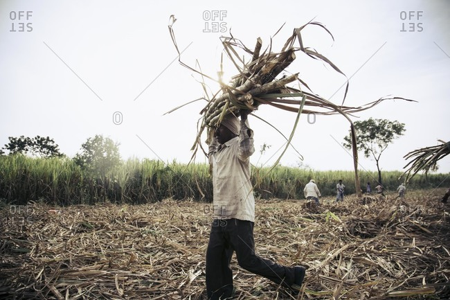 Bagalkot, Karnataka, India - November 28, 2014: Field workers harvesting sugarcane