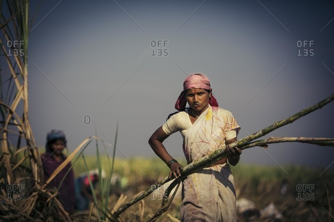 Bagalkot, Karnataka, India - November 28, 2014: Workers harvesting sugarcane crop