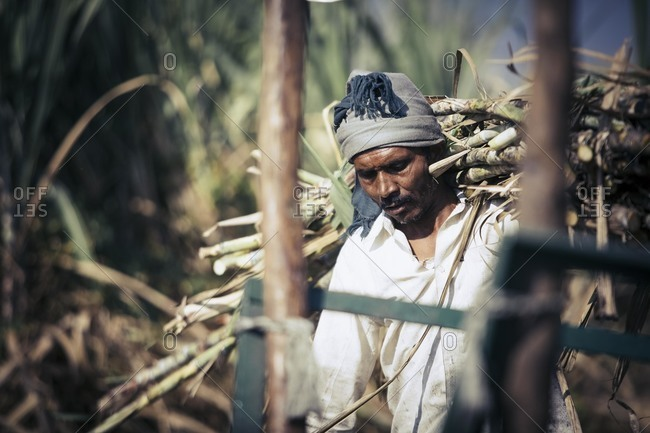 Bagalkot, Karnataka, India - November 28, 2014: Workers harvesting sugarcane field, India