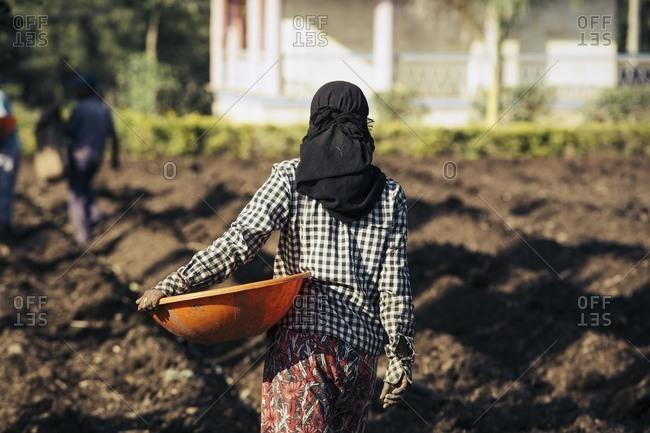 Workers planting sugarcane, India