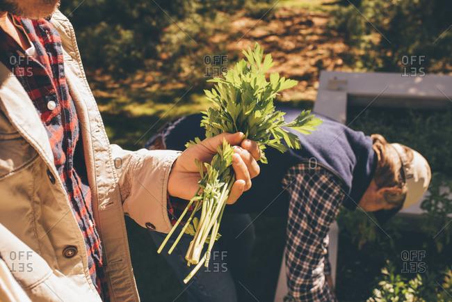 Two men picking parsley