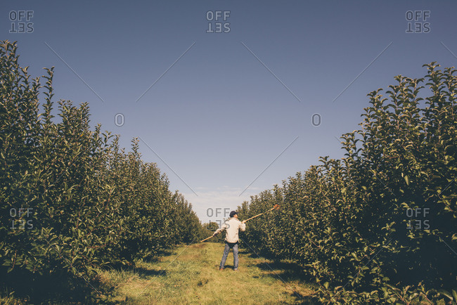 Man picking apples from an apple tree in an orchard