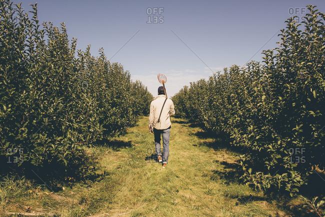 Man walking through an apple orchard
