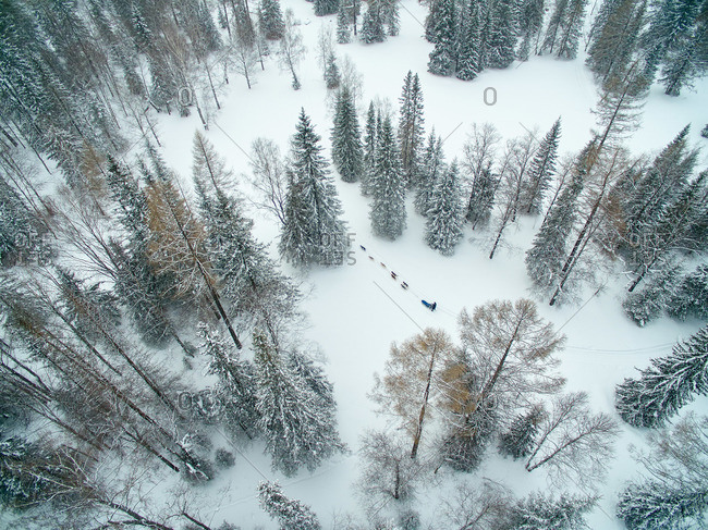 Overhead view of a sled dog team mushing through a snowy stand of trees